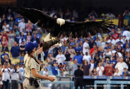 An American bald eagle flies to its trainer during post game festivities.