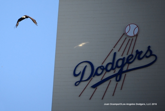 A bald eagle glides through the air during a flight test at Dodger Stadium before the game between the Dodgers and Rockies.